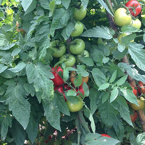 aksu-f1-domates-tohumu-2