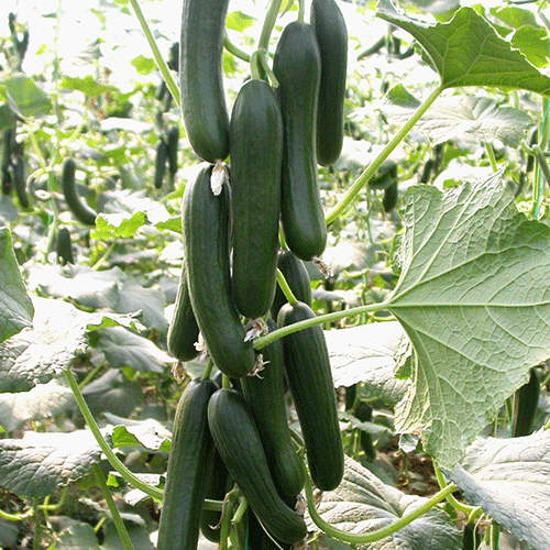 erdemli-f1-hiyar-tohumu-2
